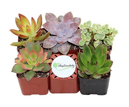 Shop Succulents: Unique Succulent Plants