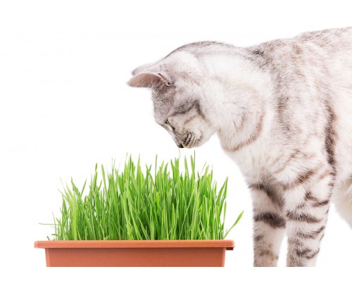Growing a Quick Pet Treat: Wheatgrass
